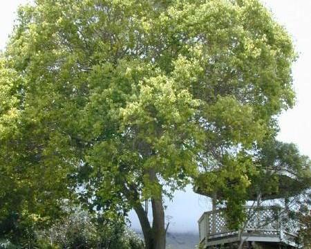Der Ravintsara Baum