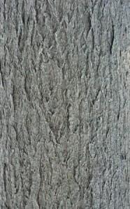 Rinde Cinnamomum camphora